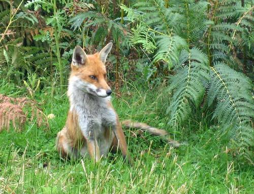 Knapdale fox