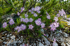 Wildflowers (OneEighteen) Tags: italy trekking purple hiking wildflowers dolomites altavia1