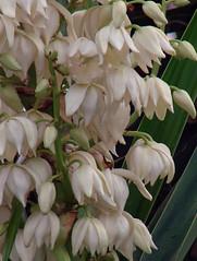 FLOR DE IZOTE  / Flor Nacional de El Salvador