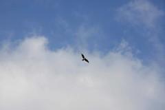 小野川湖の上空を舞う鷹