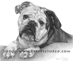 Nikki, English Bulldog. Memorial Portrait by Susan Donley