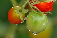 Tomatos with waterdrops people grow at home (naruo0720) Tags: plant flower macro nature tomato nikon waterdrop soe coseup cubism d300 supershot flickrsbest golddragon abigfave platinumphoto impressedbeauty goldstaraward rubyphotographer