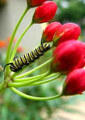 Juvenile Monarch Butterfly Larva