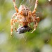 Spider with fly