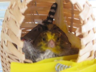 Canary Nest