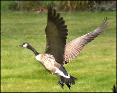 A Lot To Get Off Of The Ground (Vidterry) Tags: goose canadagoose