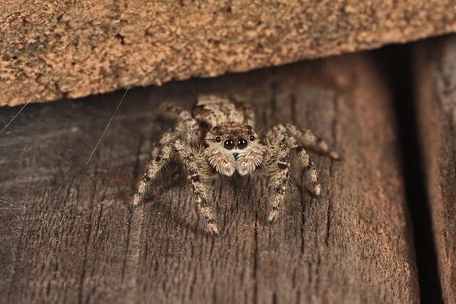 Jumping Spider (Platycryptus undatus)