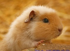 Getting your head above the parapet... (law_keven) Tags: england pet animals piggy guineapig kent furry critters furryfriday explore500 winghamwildlifepark