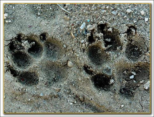 huellas frescas sobre tierra húmeda