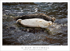 Black and White Seals (G Dan Mitchell) Tags: ocean california park sea usa white black fall nature face rock mammal coast monterey marine state pacific wildlife pair stock bigsur reserve whiskers pacificocean seal kelp carmel rest fin peninsula seashore pointlobos flipper induro
