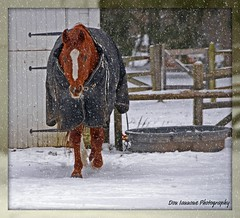 Winter Horse (View Large) (Don Iannone) Tags: winter horse white snow barn snowflakes barnyard winterday horseblanket galope closeupphoto brownhorse platinumphoto visiongroup doniannone theperfectphotographer gatesmillsohio natureselegantshots absolutelystunningscapes rubyphotographer nikond40xcamera