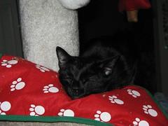 Nipped at 6 AM (Mr. Ducke) Tags: christmas cat kitty catnip parsnip catnipaddicts