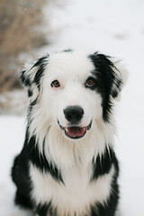 Wishes (Anda74) Tags: snow december canonef50mmf18 explore bordercollie ouzo thismorning impressedbeauty