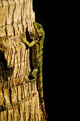 Iguana, Maya Riviera