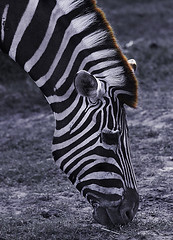 Mr. Zeb (tropicaLiving - Jessy Eykendorp) Tags: portrait white black animal geotagged stripes zebra ef70300mmf4056isusm utatafeature canoneos50d safarypark tropicaliving jessyce geo:lon=115157318 geo:lat=8817225 tropicalivingtropicalliving