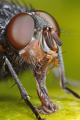 Crop of fly shot (Lord V) Tags: macro bug insect fly crop bluebottle macroextreme macrolife vosplusbellesphotos