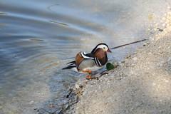 Pato mandarn macho (Aix galericulata) (ILTI) Tags: sevilla aves macho animalia aixgalericulata anatidae patomandarn parquedelalamillodesevilla