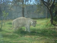 Tigre Blanco (Maik photobasics) Tags: naturaleza animales puebla tigres africam tigredebengala tigreblanco