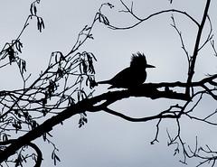 Kingfisher in Silhouette (Tom in Tacoma) Tags: bird canon kingfisher sensational flickrdiamond canon40d goldwildlife