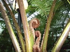 DSCF2170[1] (erellok) Tags: frankfurt palmengarten baumfarn