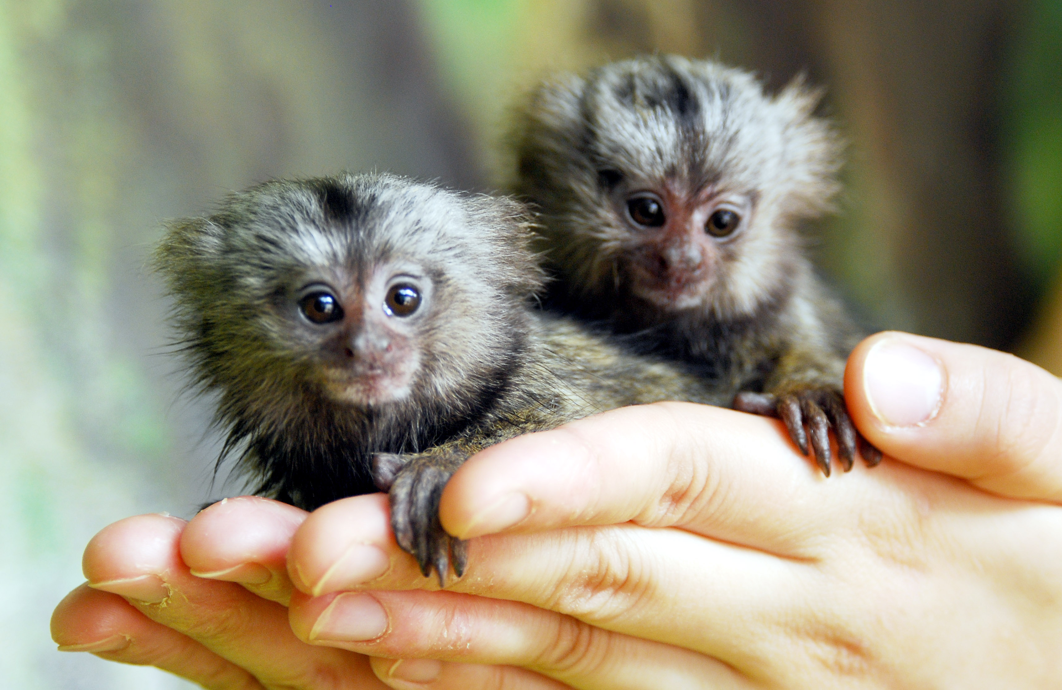 Pygmy Marmoset Monkeys for sale can be