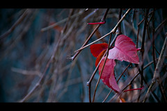 Colours of Winter (Melissa Maples) Tags: blue winter red plant cinema turkey movie leaf nikon asia widescreen antalya fourseasons letterbox nikkor cinematic 169 vr afs 18200mm f3556g d40 18200mmf3556g
