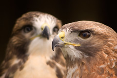Ferruginous Hawk (Dan Demczuk) Tags: africanlionsafari als ontario canada specanimal siblings hawks ferruginoushawk canon eos 20d birds nature wildlife bird aves vögel pájaro pájaros buteoregalis dandemczuk