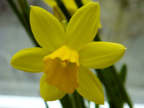Narcissus cyclamineus 'Tête-à-tête'