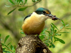 Sacred Kingfisher (ianmichaelthomas) Tags: friends birds healesvillesanctuary birdwatcher smorgasbord kingfishers animaladdiction goldenmix australiannativebirds avisittothezoo wildlifeofaustralia impressedbeauty worldofanimals naturewatcher wonderfulworldmix healesvillevictoriaaustralia avisittothezoo itsazoooutthere qualitypixels ilovemypics vosplusbellesphotos sacredkingfishers flickrsbestcreatures