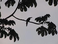 Morning Aracari in Tikal (benyeuda) Tags: morning sky tree bird sunrise toucan nationalpark wildlife birding tikal birdwatching exoticbird collared peten cecropia beautifulbird pteroglossustorquatus aracari ramphastidae tikalnationalpark mayanbiosphere reservabiospheramaya
