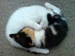 [フリー画像] [動物写真] [哺乳類] [ネコ科] [猫/ネコ] [子猫] [寝顔/寝相/寝姿]     [フリー素材]