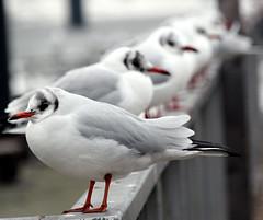 Newcomer (Ursel Graumann ON / OFF) Tags: seagull gulls soe specanimal mywinners aplusphoto platinumheartaward goldenart thewonderfulworldofbirds mygearandmepremium mygearandmebronze mygearandmesilver mygearandmegold