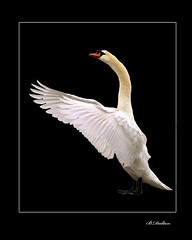 The Maestro (William  Dalton) Tags: white nature swan explore swans muteswan birdwatcher cygnusolor whiteswan naturesfinest featheryfriday explore120 avianexcellence ysplix vosplusbellesphotos