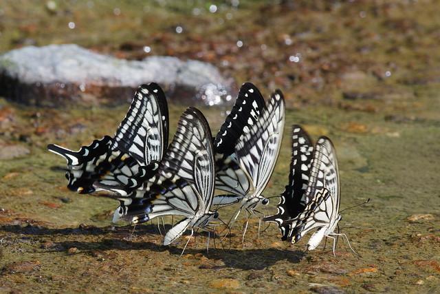 Mud-puddling - Papilio xuthus