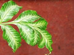 IMG_2131 Fern leaf