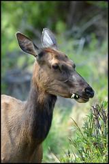 Cow Elk (Dustin_Etheredge) Tags: mammal cow nikon colorado hiking eating wildlife sigma rmnp elk 70200 rockymountainnationalpark canadensis foraging cervus d7000