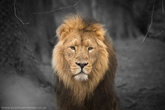 African Lion (Scott Cartwright Photography) Tags: black bird nature canon lion naturephotography malelion colourspot wildlifephotography canoncameras canon5dmkiii canon5dmk3 scottcartwright shrewsburyphotographer shropshirephotographer scottcartwrightphotography shropshirefreelancephotographer shrewsburyfreelancephotographer