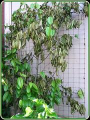 The scorched leaves of Bauhinia Kockiana, shot February 9, 2008