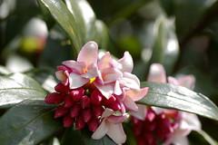 沈丁花の開花
