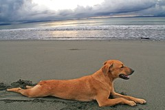 Rex on the Beach (Peggy Collins) Tags: friends dog beach animal interestingness costarica buddies pals explore stray furryfriday osa osapeninsula mywinners abigfave