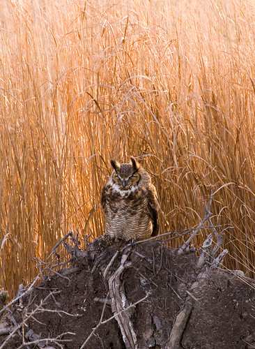 Owl (great horned?)