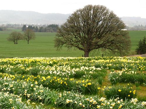 daffodils poem. Fanning Daffodil Farm