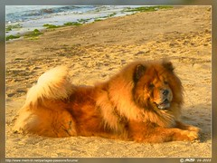mi chien... mi lion (Rached MILADI -  ) Tags: dog chien animal lumix panasonic 18 animaux fz tunisie      rached  fz18 dmcfz18 miladi  rachedmiladi