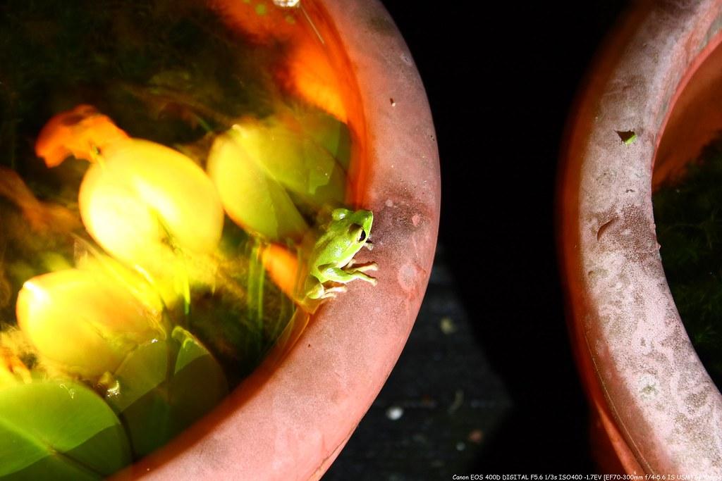 Rhacophorus smaragdinus 翡翠樹蛙IMG_6628