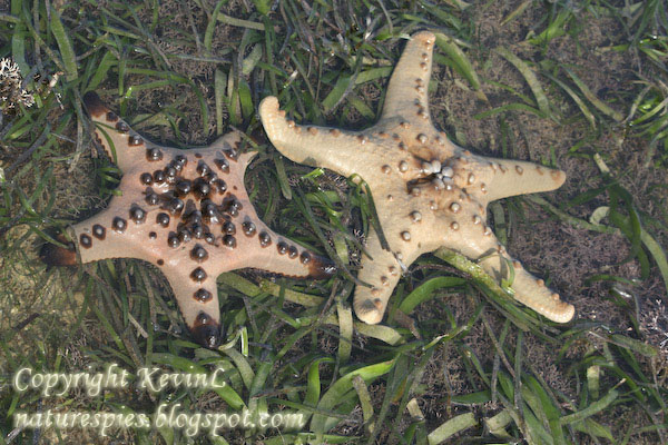 IMG_1358_Knobbly_sea_stars-twins