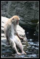 Snow Monkey taking a summer dip (DP|Photography) Tags: thethinker centralparkzoo canon70200f4l snowmonkey japanesemacaque monkeybusiness lepenseur macacafuscata zoosofnewyork debashispradhan dpphotography coolingoffthetootsies dp|photography