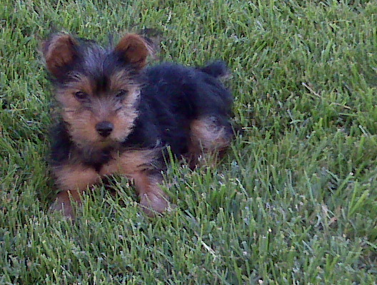 Just Want To Make Sure Silky Or Yorkie Silky Terriers Not
