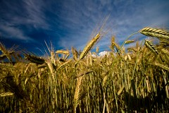 Summer Wheat (mgratzer) Tags: blue summer sky sun field landscape wheat feld landschaft korn weizen wheed summerwheat sommerweizen showonmysite