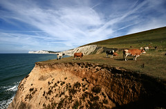 Living on the edge - Stunt Cows on the cliffs over Compton Bay. (s0ulsurfing) Tags: ocean blue sea sky cliff cloud seascape beach nature water grass weather clouds wow downs landscape fun island bay coast cow interesting funny skies cattle cows natural wind compton patterns extreme wide shoreline wideangle humour cliffs moo explore coastal shore vectis isleofwight coastline hanover 2008 contrails livestock bovidae isle bovine channel grazing cliffdiving englishchannel wight stunt lamanche westwight ungulates 10mm comptonbay sigma1020 dairycow pastural s0ulsurfing aplusphoto welcomeuk