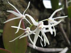 Resultado de imagem para Tropilis orchid